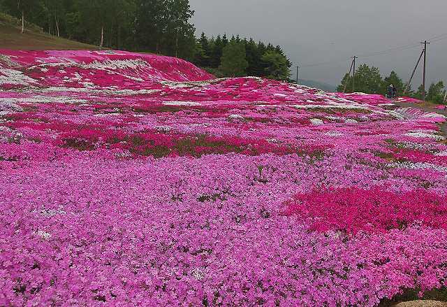 芝桜の名所関西