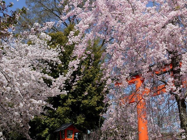 京都平野神社の桜