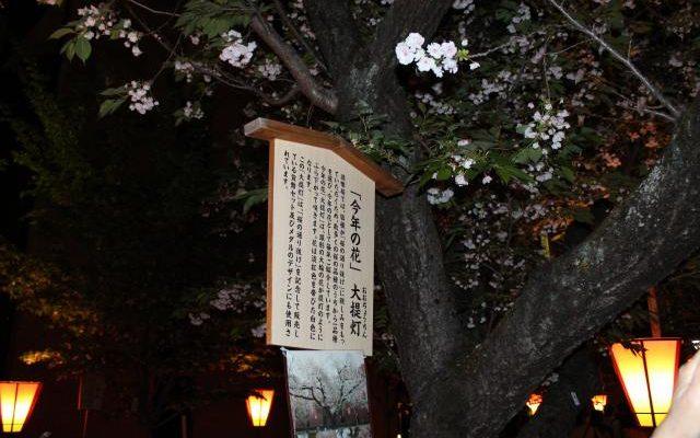 桜の通り抜け今年の花2018