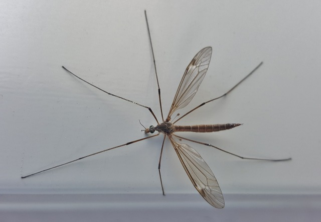 大きい蚊のような虫