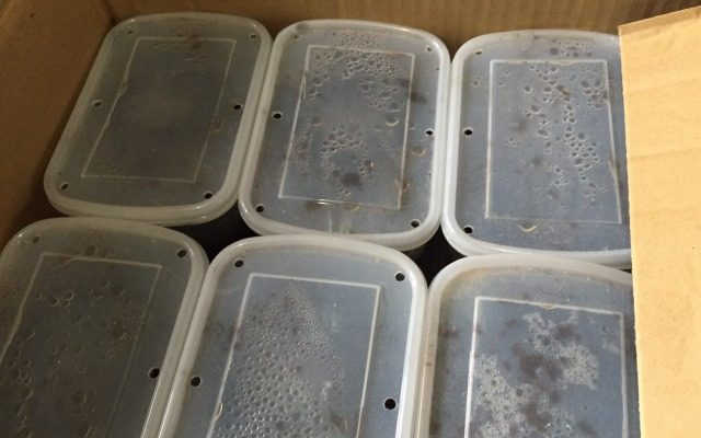 カブトムシの幼虫を飼育中