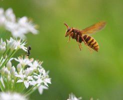 スズメバチの行動範囲