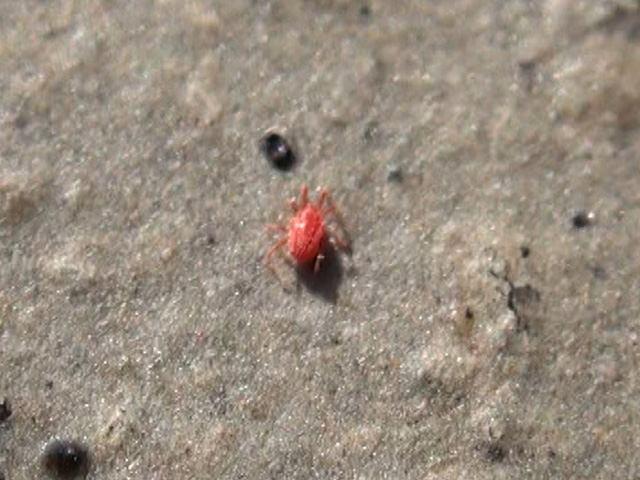 赤い小さい虫は何?