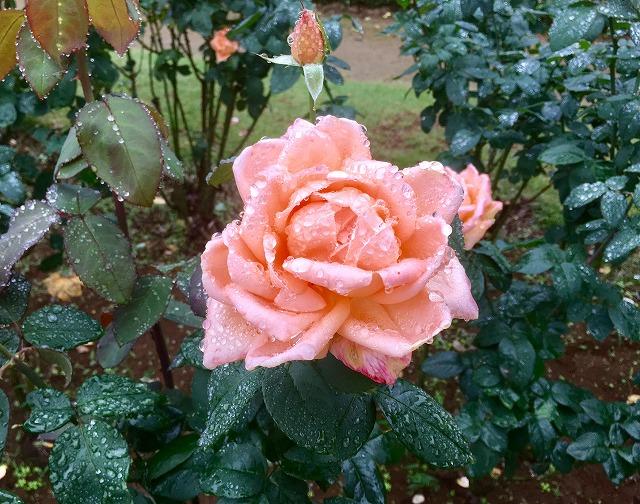 台風のバラ