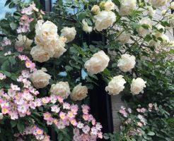 バラの植え替えの時期