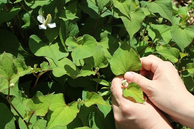 ドクダミの葉を摘み取る