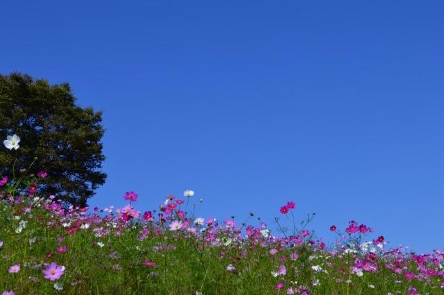 昭和記念公園のコスモスまつり