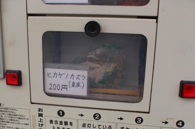 大和郡山金魚の自動販売機 ヒカゲノカズラ産床