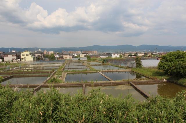 大和郡山 金魚の養殖場