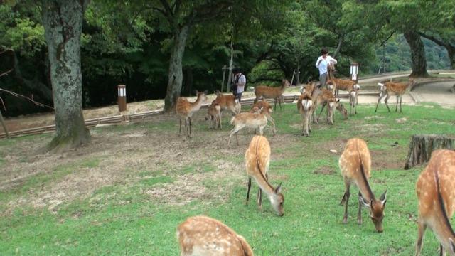若草山三重目の鹿