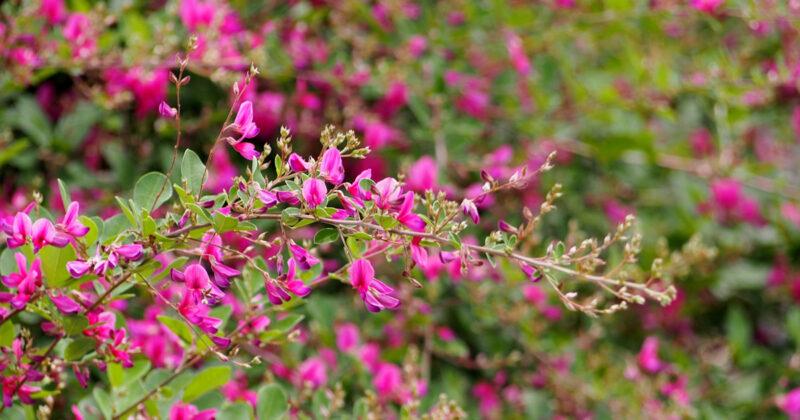 秋の七草 萩の花